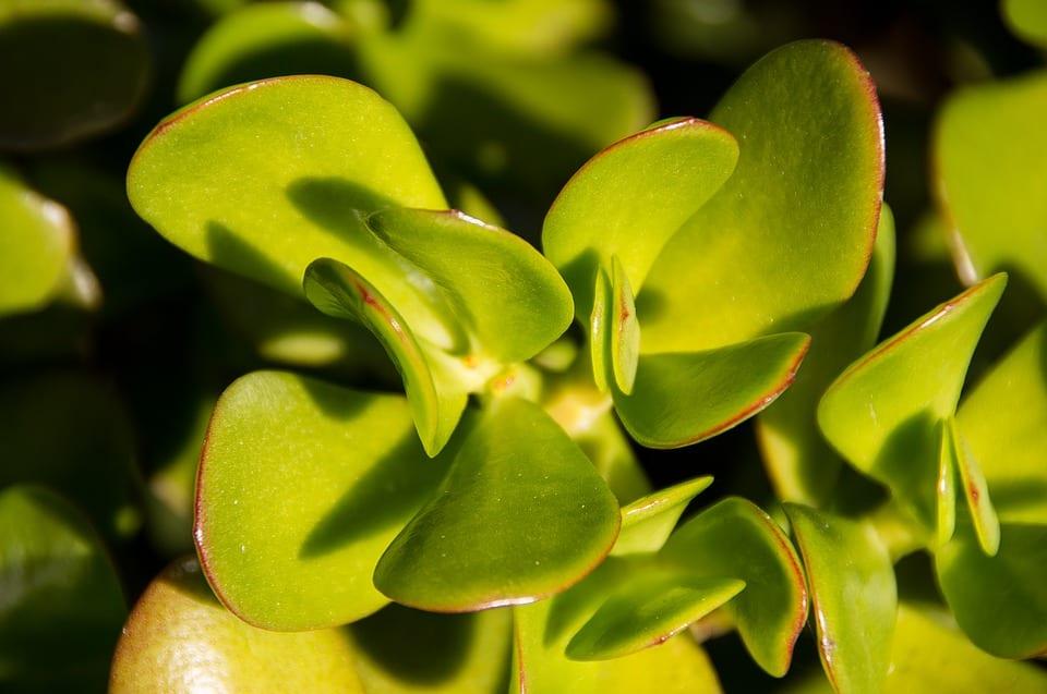 Las hojas de la Crassula ovata son verdes
