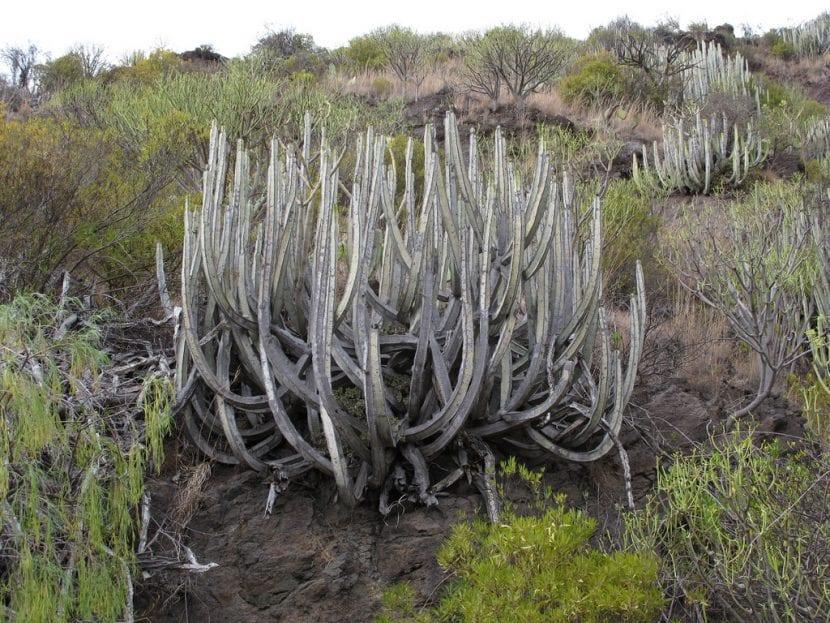 La Euphorbia canariensis es una suculenta autóctona de Canarias