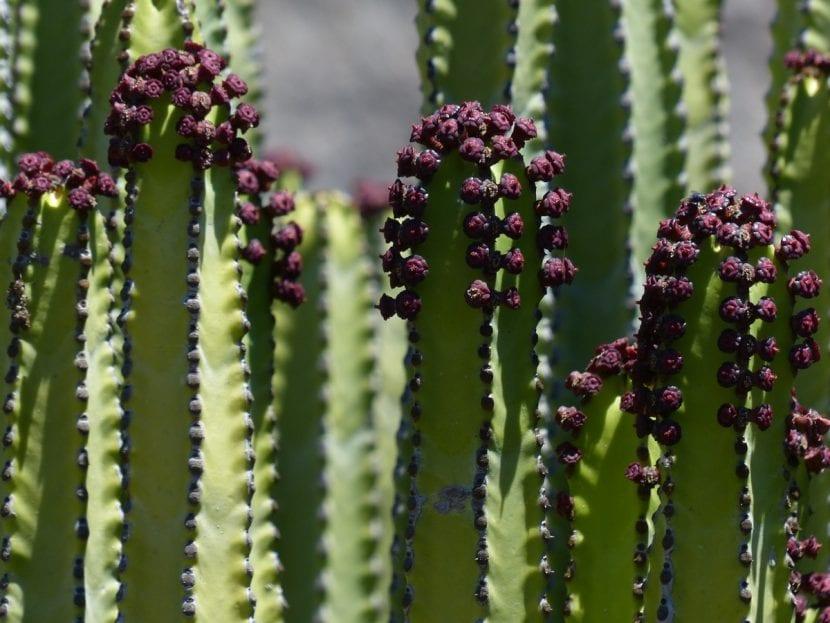 Las flores de la Euphorbia canariensis son pequeñas