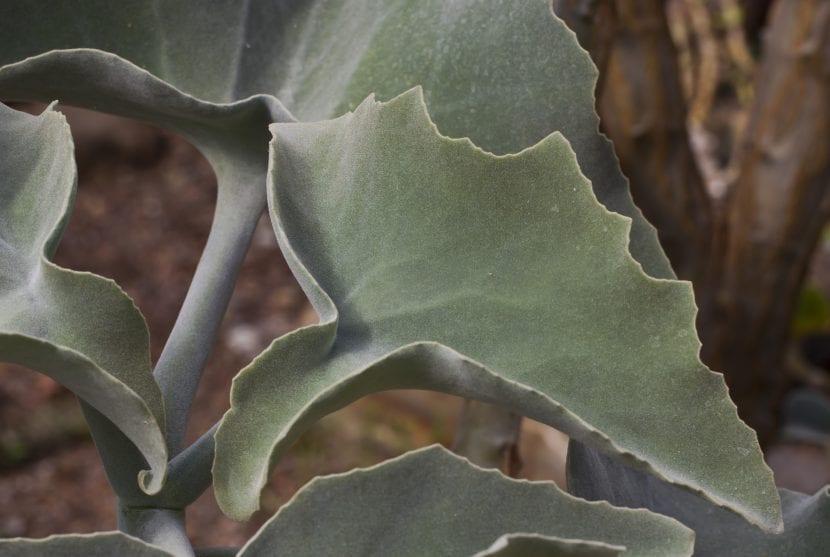 Las hojas del Kalanchoe beharensis son suculentas