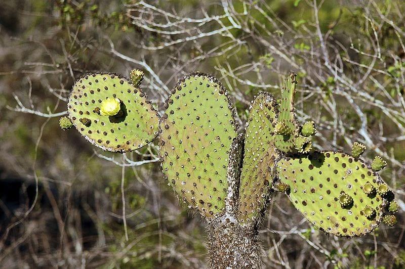 Vista de la Opuntia insularis