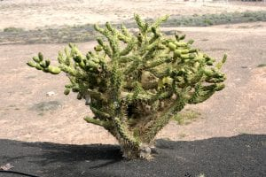Vista del cactus Opuntia subulata en hábitat