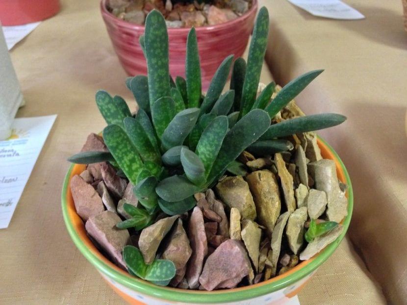 Gasteria pillansii ernesti-ruschii 'Dwarf form'