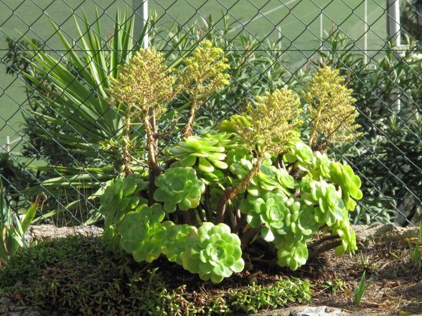 El Aeonium canariense es una suculenta fácil de cuidar