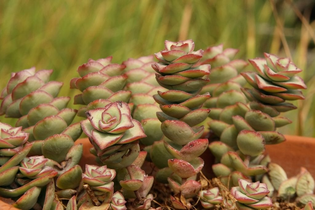 Vista de la Crassula perforata