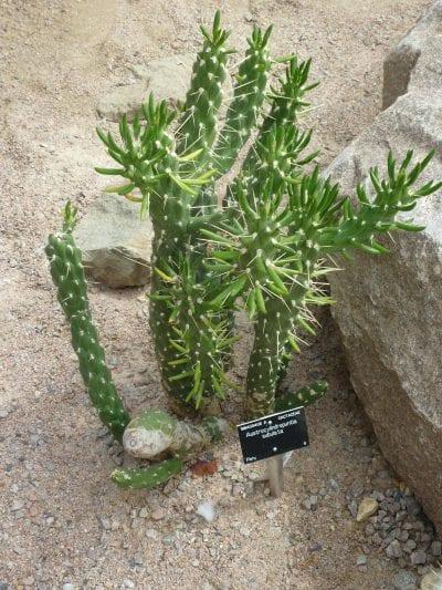 Planta de Opuntia subulata en un jardín botánico