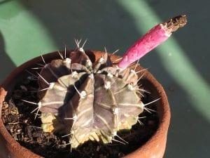 Gymnocalycium mihanovichii en maceta