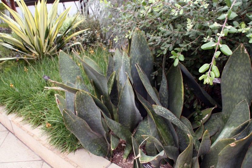 Sansevieria grandis en un jardín
