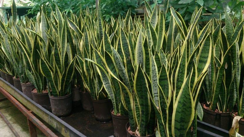 Sansevieria trifasciata en maceta en un vivero