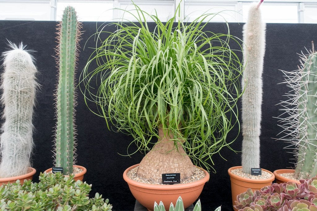 Vista de una planta de Beaucarnea con cactus