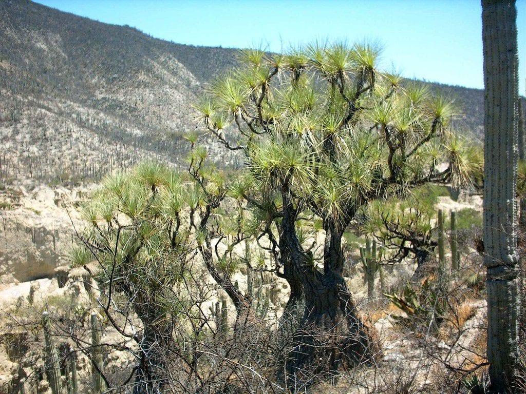 Vista de una Beaucarnea gracilis en hábitat