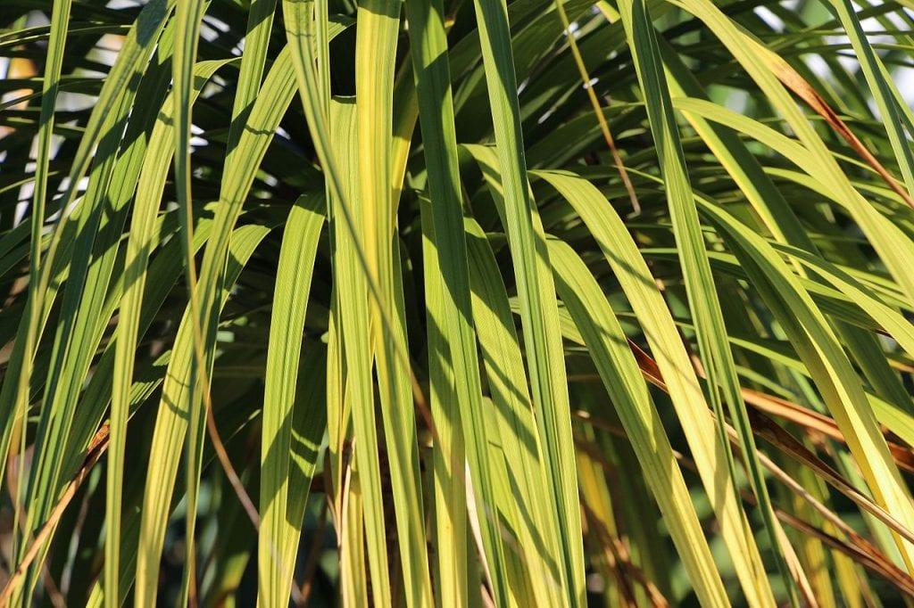 Las hojas de las Beaucarnea son lineales