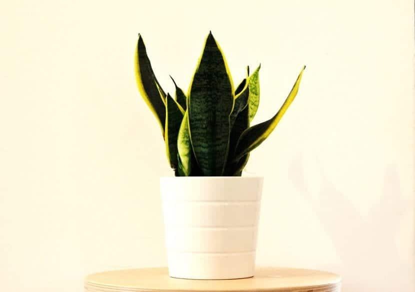 Las Sansevierias son plantas de fácil cultivo