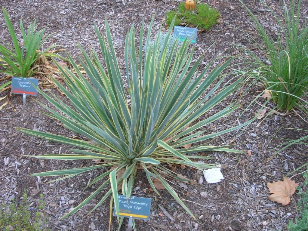 Vista de la Yucca filamentosa