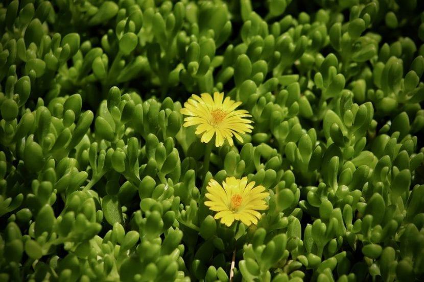 La Delosperma es una planta suculenta