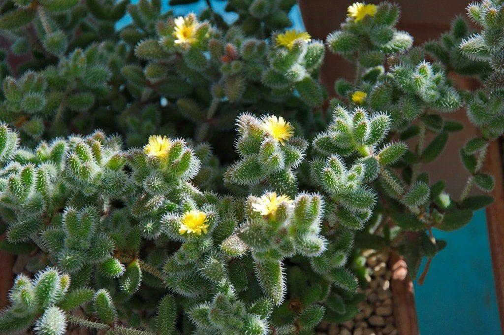 Vista de la Delosperma echinatum en flor