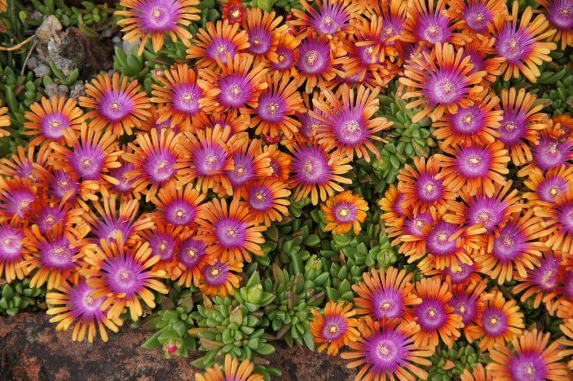 Vista de la Delosperma en flor