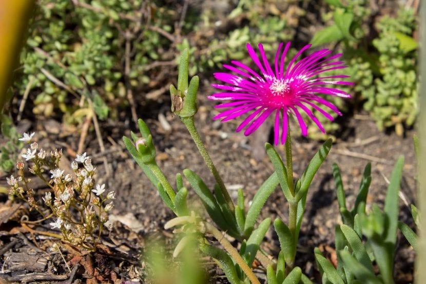 Las flores del mesem pueden ser lilas