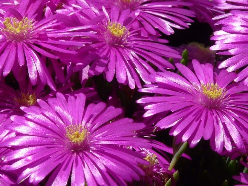 Las flores de las Delosperma son vistosas
