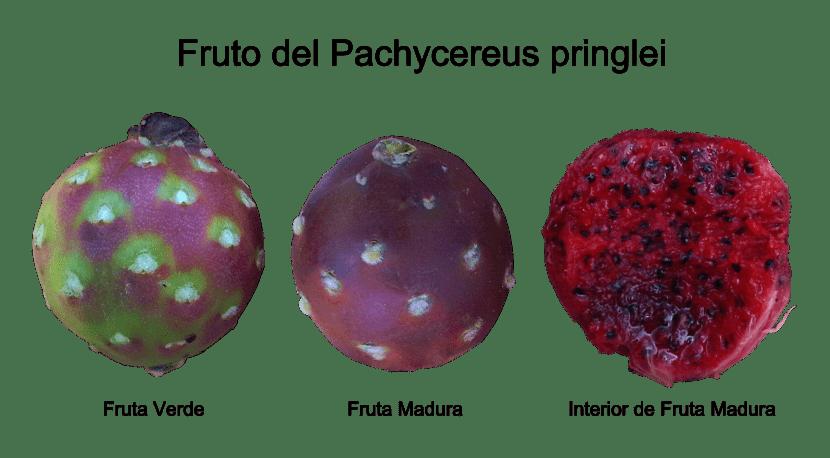 Vista del fruto de Pachycereus pringlei