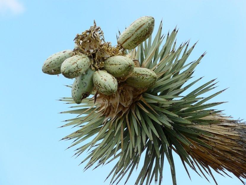 Los frutos de la Yucca son grandes