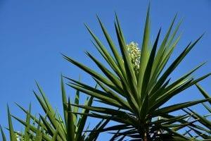 La Yucca es una planta muy resistente a la sequía