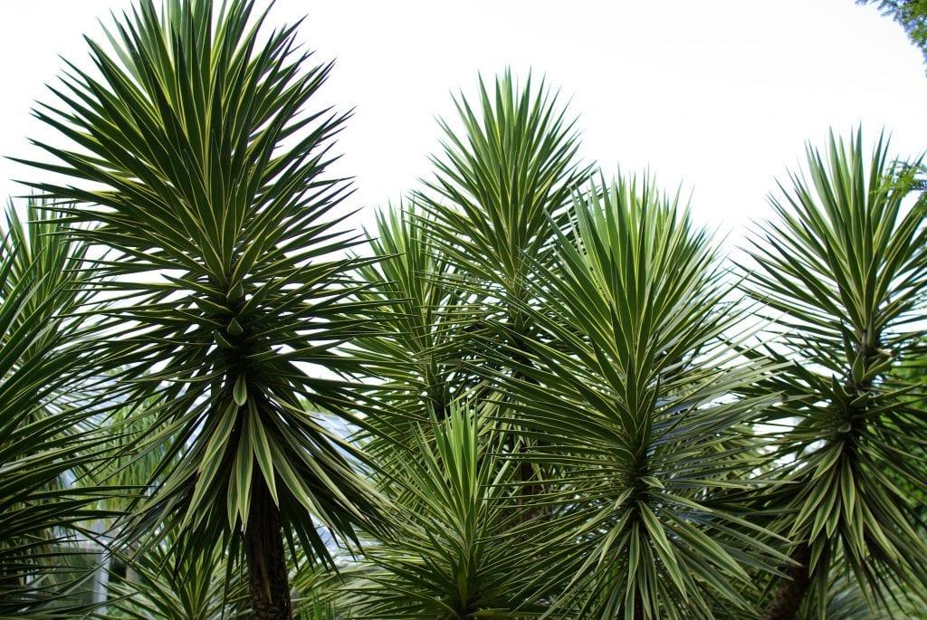 Vista de la Yucca aloifolia
