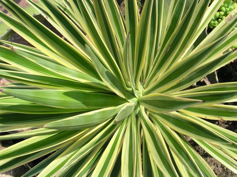Vista de la Yucca aloifolia 'Variegata'