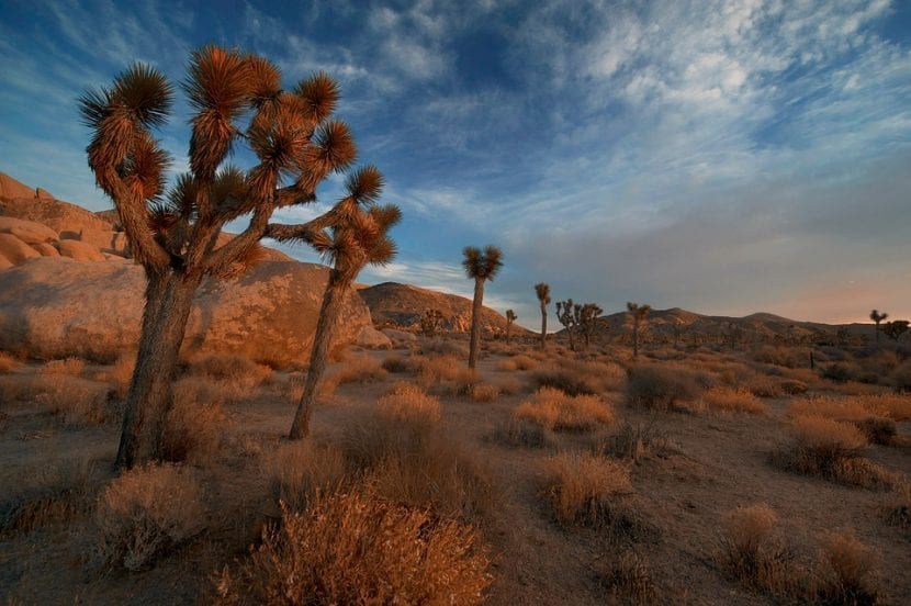 Vista de la Yucca en su hábitat