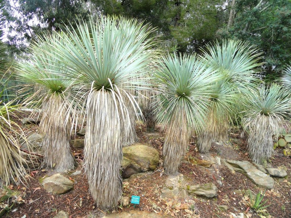 Vista de la Yucca rostrata
