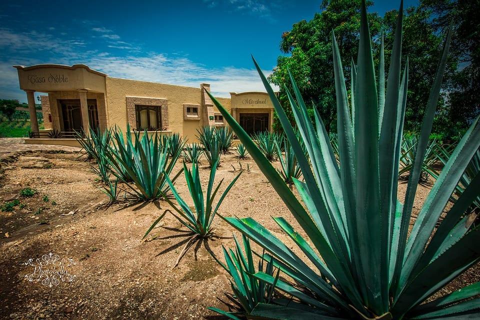 El Agave tequilana es una planta preciosa