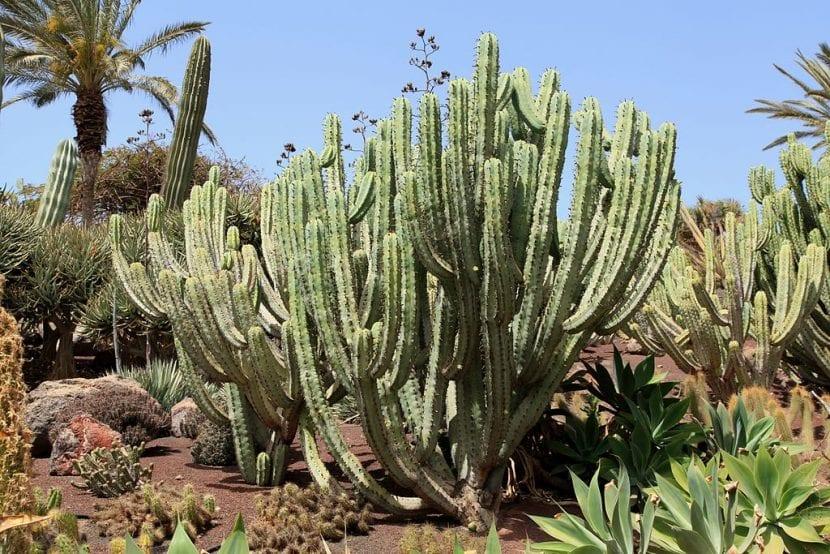 Vista del Myrtillocactus geometrizans