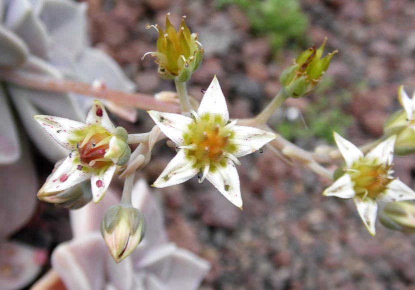 Las flores del Graptopetalum paraguayense son blancas