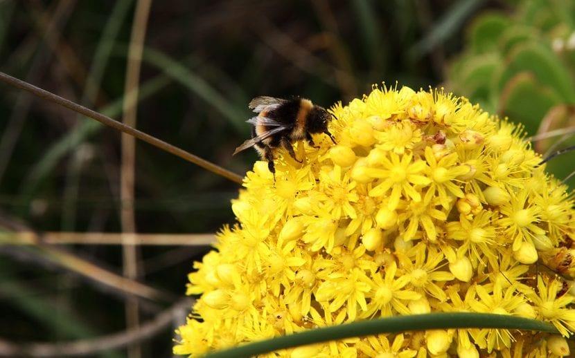 Las flores del Aeonium arboreum son amarillas