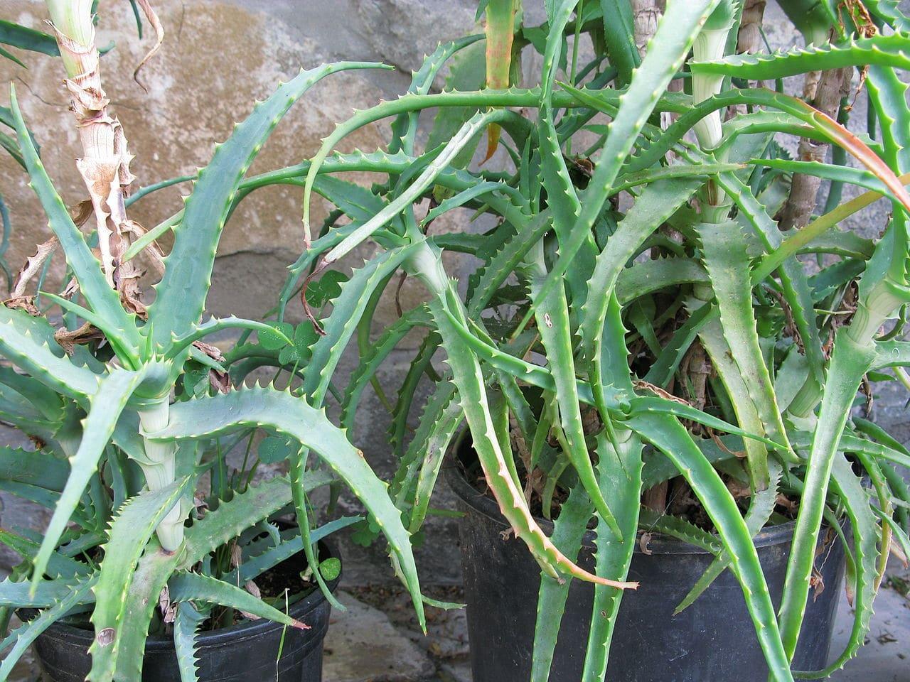 Vista del Aloe arborescens