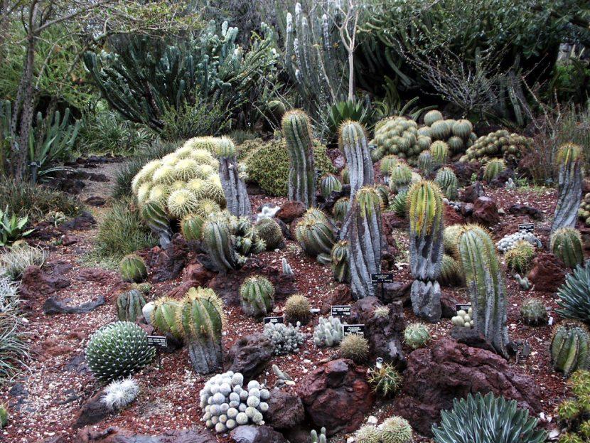 La Euphorbia horrida queda genial en un jardín