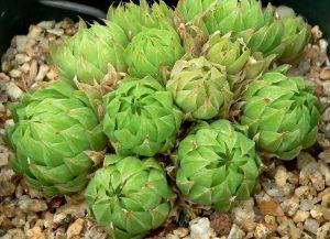 Vista de la Haworthia cymbiformis