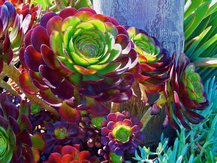 El Aeonium arboreum es una planta suculenta