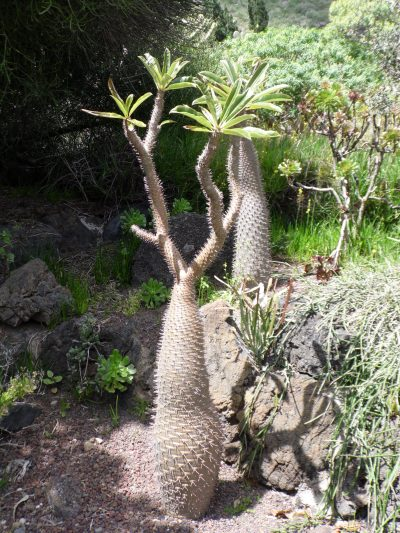 Vista del Pachypodium geayi