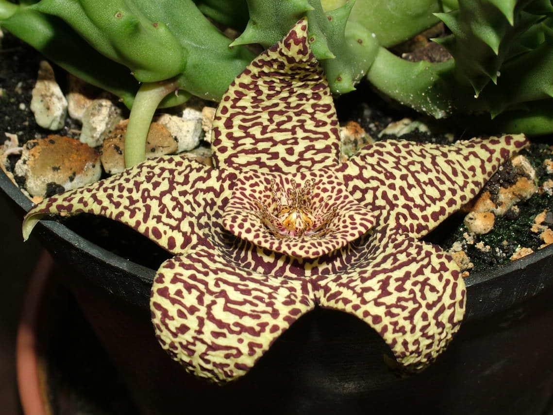Vista de la flor de lagarto