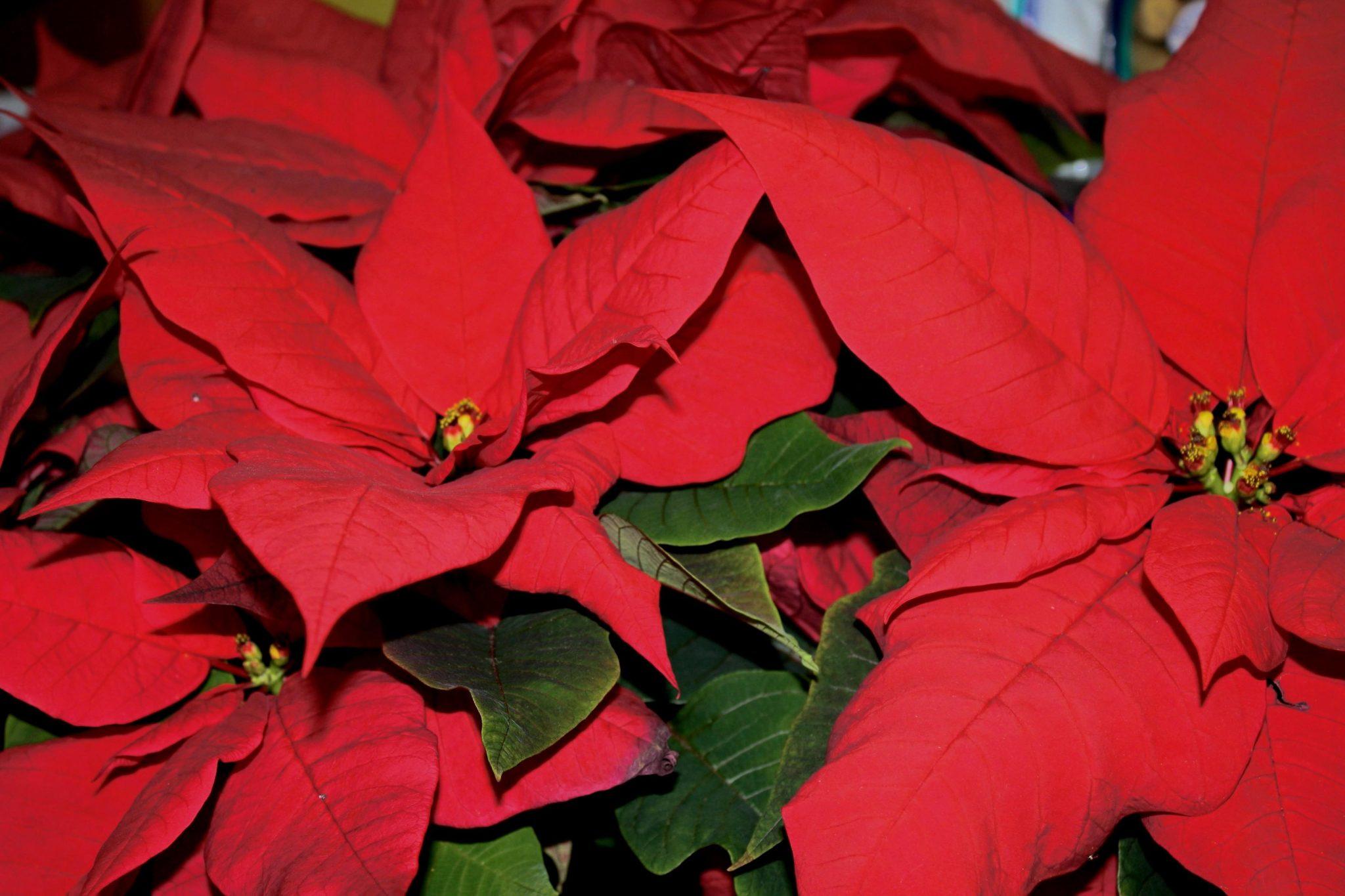 La flor de pascua es una planta decorativa