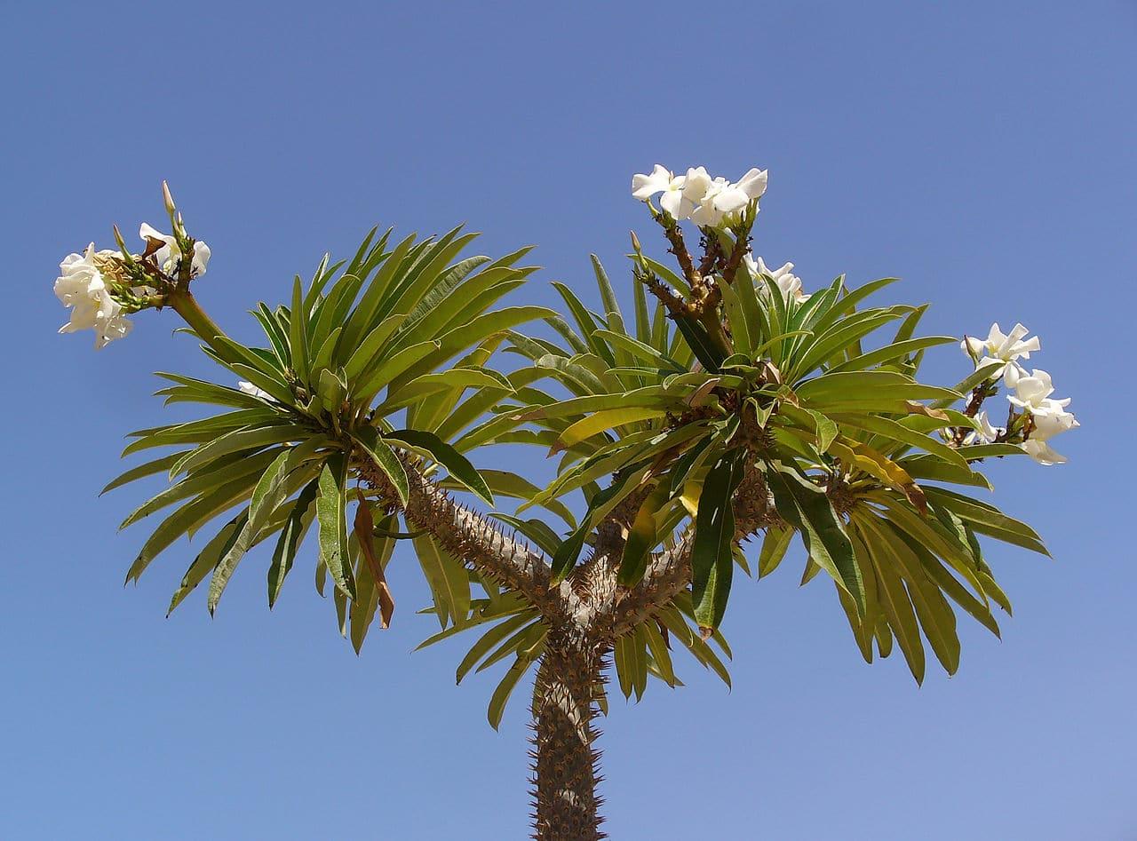Vista del Pachypodium en flor