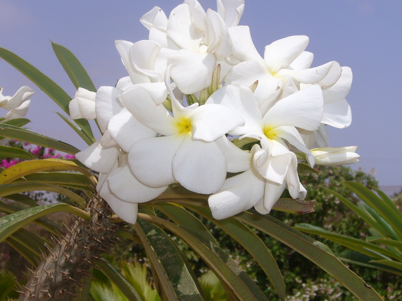 Los Pachypodium producen flores preciosas