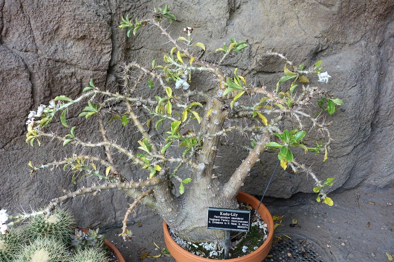 Vista del Pachypodium saundersii