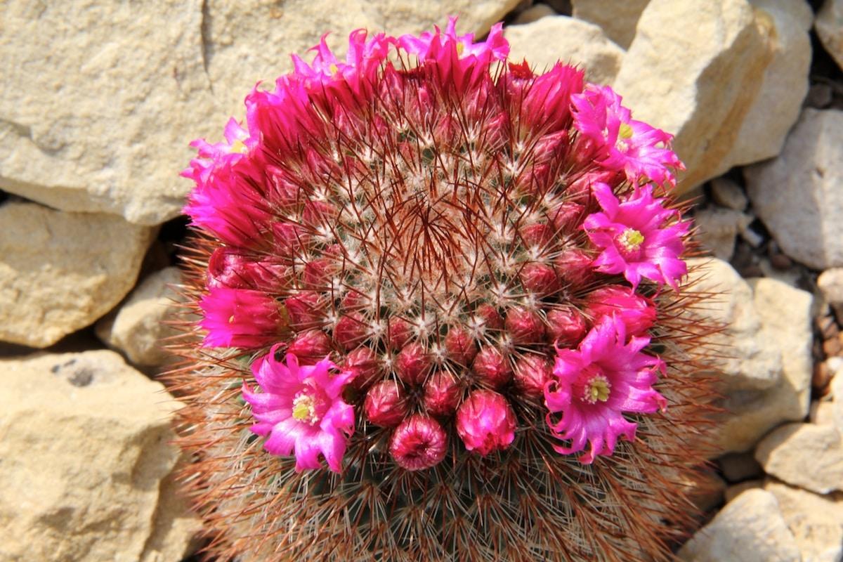 Vista de la Mammillaria spinosissima