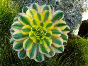 Vista del Aeonium variegada