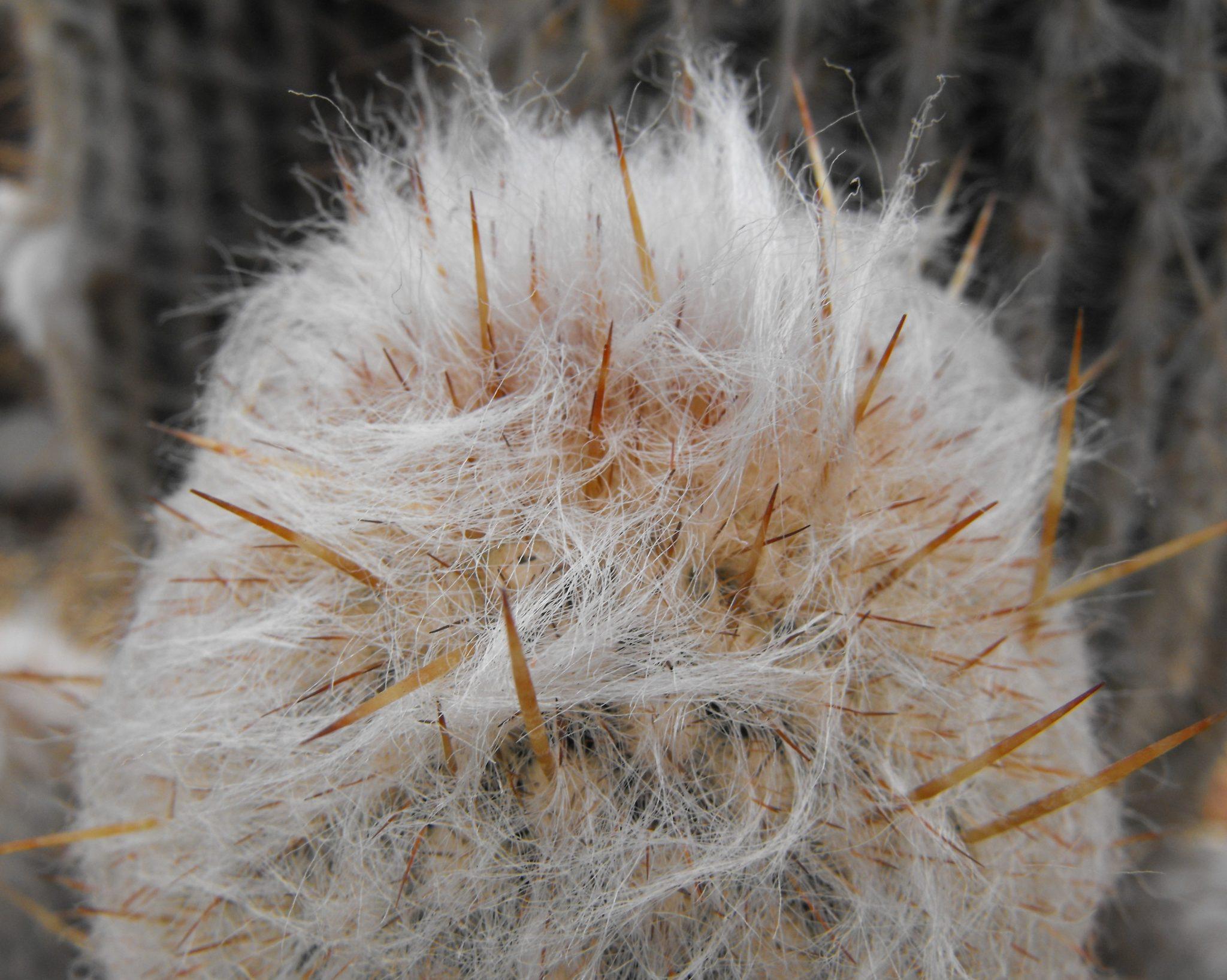 Las espinas de la Espostoa lanata son agudas