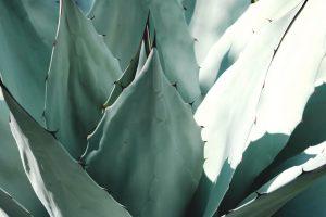 Los agave son suculentas