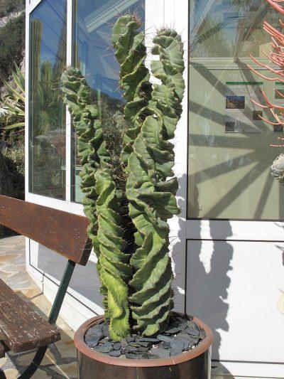 Vista del Cereus forbesii spiralis