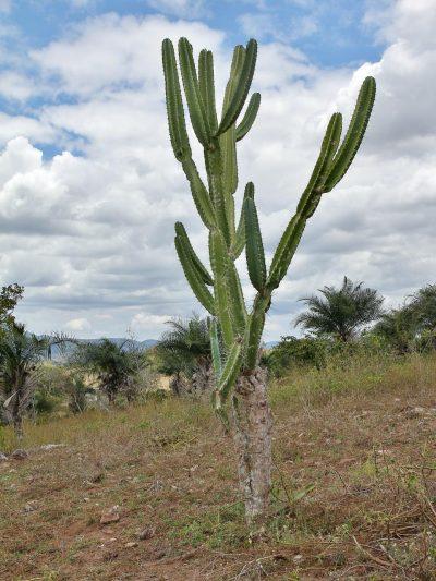Vista del cereus jamacaru